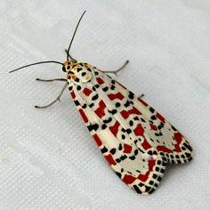 Crimson speckled moth :)