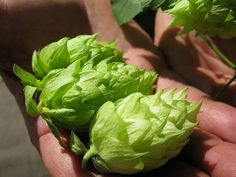 The Cascade Hop is 40 years old now. This plant is the backbone of the craft beer industry in the United States.