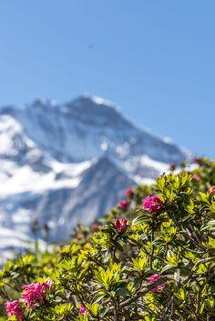 Alpenrosen im Berner Oberland Urban, Mountains, Nature, Flowers, Travel, Naturaleza, Viajes, Destinations, Traveling