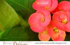 Euphorbia Dew (Taken at Quirino, Isabela, at the yard)