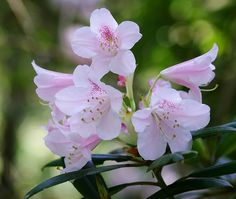 石楠花/ Rhododendron degronianum by nobuflickr, via Flickr