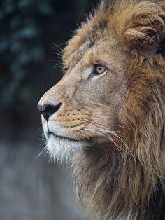 New African Animal Art Wildlife Big Cats 62 Ideas Nature Animals, Animals And Pets, Cute Animals, Wild Animals, Baby Animals, Beautiful Lion, Animals Beautiful, Majestic Animals, Lion Profile