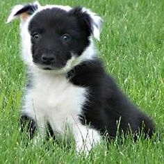 cutest border collie ever!! look at those markings!!