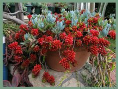 Sedum rubrotinctum...jelly beans/ pork and beans.The leaves of the Sedum rubrotinctum plant change colour from green to red during the summer months as a protective adaptation. They sprout bright yellow flowers from between the leaves in mid-spring.