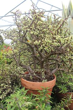 Growing Elephant Bush Indoors: How To Care For Elephant ... |Elephant Caring For Jade Plant