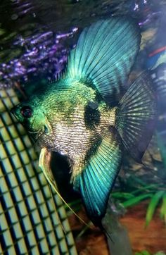General Care for the Freshwater Aquarium Tropical Freshwater Fish, Tropical Fish Aquarium, Freshwater Aquarium Fish, Pretty Fish, Cool Fish, Beautiful Fish, Oscar Fish, Fish Artwork, Underwater Creatures