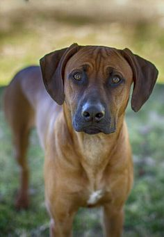 A fine hunter, the Rhodesian Ridgeback is ferocious in the hunt, but in the home it is a calm, gentle, obedient, good dog.