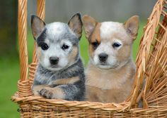 46 Best Red Heelers Images Doggies Australian Cattle Dog Dogs