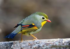 Red-billed Leiothrix - The red-billed leiothrix is a member of the Leiothrichidae family, and is native to the Indian subcontinent. Adults have bright red bills and a dull yellow ring around their eyes. Wikipedia
