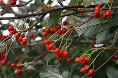 Autumn berries: Berries of whitebeam (Sorbus aria) on the South Downs, Sussex http://www.atomicshrimp.com/st/content/whitebeam
