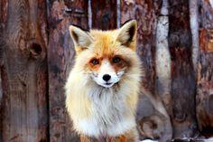 friendly foxy.
