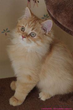 Irish de la Querencia, 4 mois, chaton british Longhair