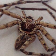 spider #tarantula