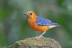 Download Suara Anis Merah Betina – Penghobi burung tentunya sangat kenal dengan jenis burung kicauan yang satu ini. Bentuk tubuhnya yang khas dengan suara nyanyian yang khas pula memang tidak terla…