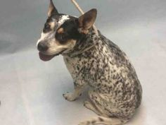 **SENIOR** - Super Urgent Brooklyn - STORM- #A1100361 - FEMALE BLUE MERLE/WHITE AUS CATTLE DOG MIX, 10 Yrs - OWNER SUR - EVALUATE, NO HOLD Reason MOVE2PRIVA -Intake 12/23/16 Due Out 12/23/16 - BACKS AWAY, FEARFUL, MINIMAL EXAM DONE, ALLOWS MOST HANDLING - CAME IN WITH GOAL #A1100360 (NOT AN URGENT DOG)