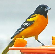 Male Baltimore Oriole...Would love to see one in our yard!