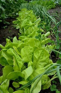 How to Grow Your Own Fresh Salad Greens