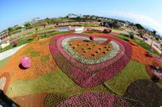 Seas of Flowers in Xinshe contains numerous kinds of flowers: lavender, sage, cosmos, sunflower, red sage, spider flower, and begonia semperflorens seeds.....  I can't wait to take photos there! Begonia, Baseball Field, Cosmos, Seeds, Canning, Taipei, Holiday Decor, Sage, Spider