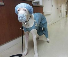#greatdane #dogs #funny Daphne's costume next year!