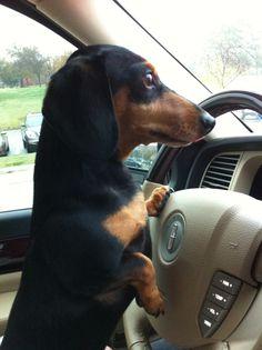 Doxie carpool driver!