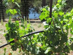 Our two year vineyard is beginning to show its potential. http://www.napaandbordeaux.com
