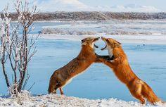 Fox kits play-fighting, at Lake Ugashik, Alaska.