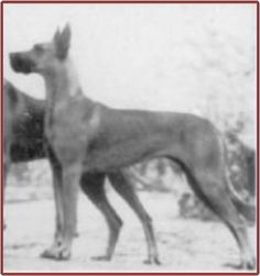 CH Nepa of Loheland Born 1931  3 of Nepa's 4 grandparents were from closely related Saalburg lines - Bosko vd Saalburg, Dolf vd Saalburg, and Lora v Birkenhof (father was half-brother of Bosko vd Saalburg) - making her VERY linebred on the Saalburgs and on Bosko's father (the great Tantalus v Sonnenberg). Nepa's 4th grandparent was the great Fauna Moguntia. Bred to Oerlang v Loheland & Mungo v Loheland (both heavily inbred on Saalburg), Nepa produced exquisite champion after champion from both.