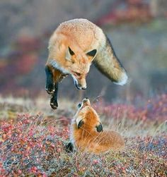 Foxes playing in field