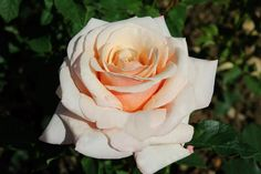 """ Paul Ricard "" (Meinivoz) - Hybrid tea rose - Yellow blend, amber - Strong, anise, licorice, sweet fragrance - Meilland, 1991"
