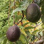 Mediterraan 'Avocado' persea americana kan in wild grote boom worden, maar in NL niet meer dan aardige struik. kan als kuipplant gebruikt worden; in zomer buiten, s winters kas/serre. bestuif plant met de hand om vruchten te krijgen (moeilijk vruchten te krijgen). zelfbestuivend.