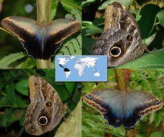 Owl   Caligo memnon    Wingspan:  6.0 to 6.5 in Family: Nymphalidae   Subfamily: Satyrinae   Tribe: Brassolini  Photos © Ryan G. Fessenden