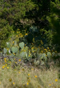 Cactus in the rugged Palo Pinto Mountains of Texas.