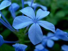 Blue flower pictures, picture of blue flowers, images of blue flowers, blue flowers images, pics of blue flowers, blue flowers pictures, blu...