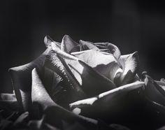 Rose close up shot with Sinar Alpina 4x5 and Kodak TMax 100 film