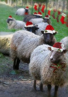 hmmm..wonder what Moms neighbors would think if I  prettied up their sheep for the holidays?