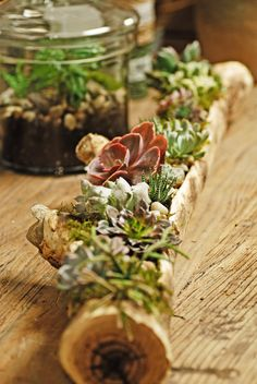 succulents in log