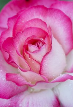 Pink tipped rose and droplets