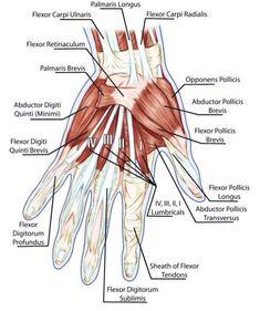 Hand Anatomy!! (Torn Hip Flexor)