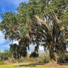 Daaannnnngggggg thats a big ass tree. . . . . . . . . . . . #Trees #treehugger #treelover #oak #mightyoak #lousiana #LA #BayouBlack #downonthebayou #bayoulife #gibson #nature #beauty #art #arthub #gogreen #sikenah #420blazeit #nugs #greenery #Godsgreenearth #Love #work #ditchwitch #drilling #NOVA #elvis #theking #bazinga
