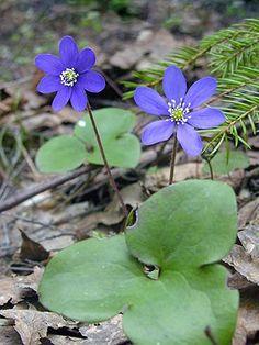 Sinivuokko, Hepatica nobilis - Kukkakasvit - LuontoPortti