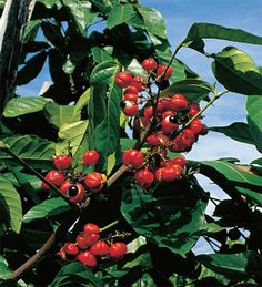 fruit called guarana