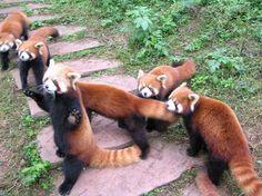 Fire ferrets!! PABU!! <3