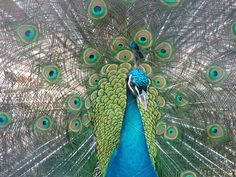 Peacock by Mihaly on @creativemarket
