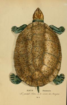 Species novae Testudinum quas in itinere annis 1817-1820 - Biodiversity Heritage Library