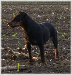 """The German Jagdterrier (pronounced """"Yack-terrier"""") was created more than eighty years ago in Germany by crossing the original Old English Fox Terrier and Black and Tan Hunting Terrier."""