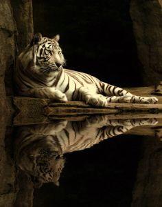 tigergrove