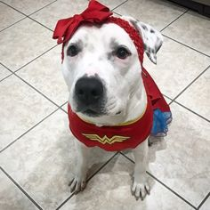 Pit bull que comoveu ao usar laços para esconder cicatriz é adotada – Bom Pra Cachorro