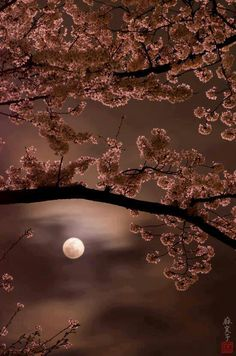 Cherry blossoms by moonlight