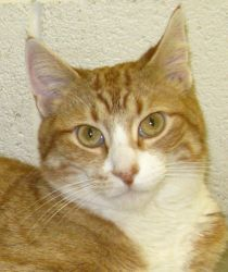 Lewis is an adoptable Domestic Short Hair Cat in Jefferson, WI. I'm a very outgoing guy with an energetic and happy personality. I was already neutered when I arrived at the shelter, so I was obviousl...