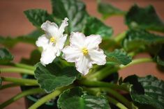African violet is a cheerful indoor plant for winter. Here are plant care tips. Indoor Plants, Plants, Violet Plant, Planting Flowers, Types Of Orchids, February Birth Flowers, Growing Bulbs, African Violets, Hanging Plants